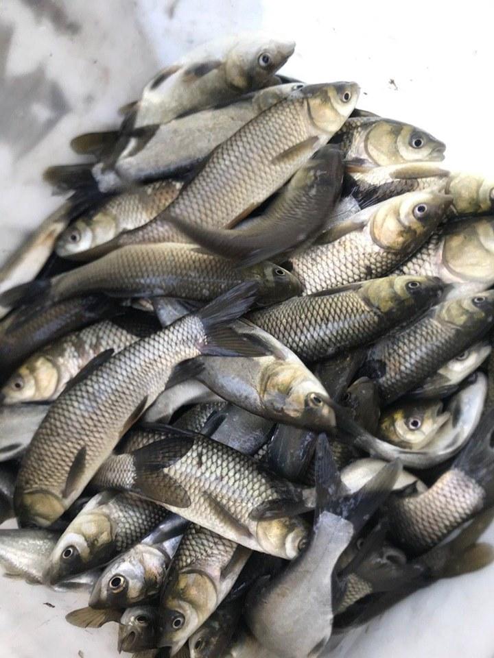 До Канівського водосховища запущено майже 7 тонн риби - київщина, Київський рибоохоронний патруль, зариблення - 1106 Ryba4