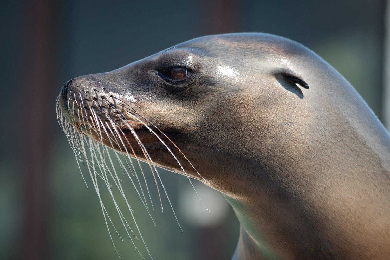 Зміна клімату стала причиною поширення смертельного для морських ссавців вірусу - зміна клімату, захист тварин, вимирання тварин - 14 chuma