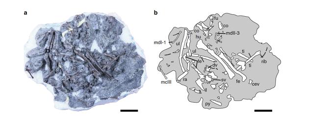 У японському кар'єрі знайшли одну з найдревніших літаючих тварин - динозаври - 19 ptytsa