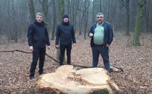 22_duby На Волині зрізали 300-річні дуби вартістю 220 тисяч гривень