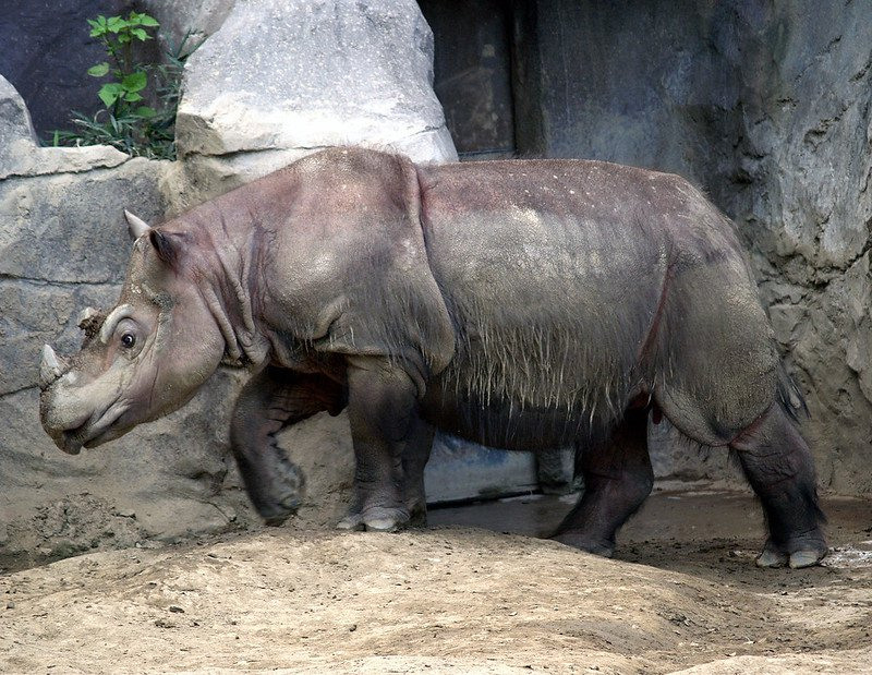 У Малайзії помер останній в країні суматранський носоріг - носоріг - 25 nosorog