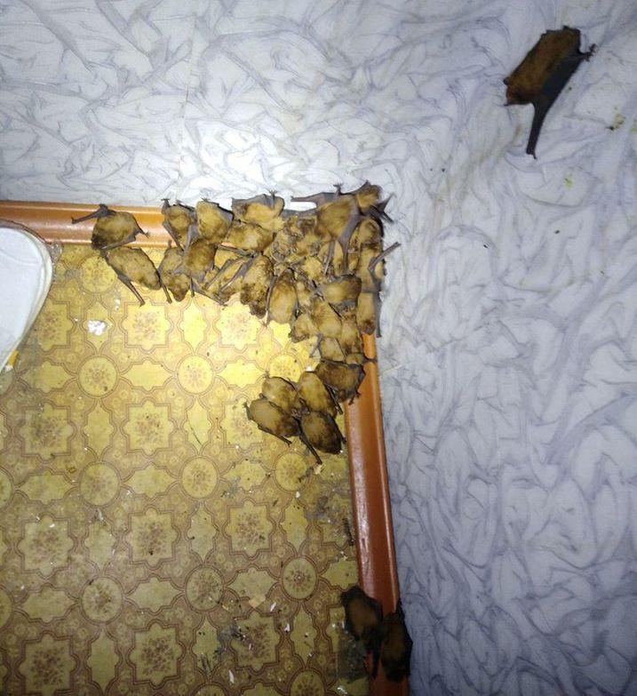 120 кажанів вмостилися зимувати на балконі киянина -  - 69206151 2485216958390872 336993682483838976 o