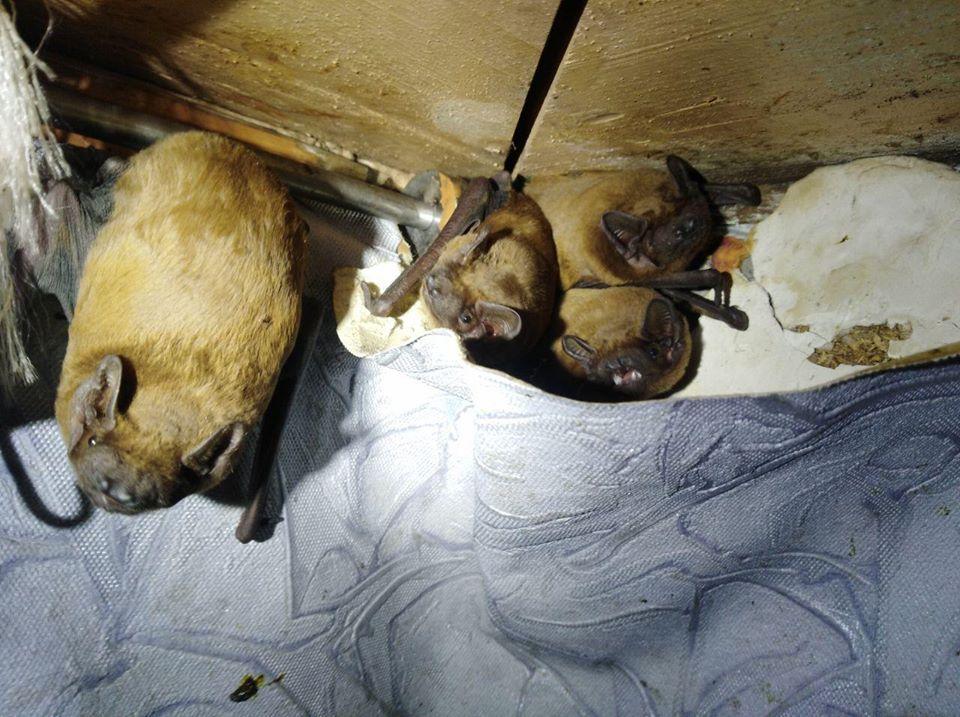 120 кажанів вмостилися зимувати на балконі киянина -  - 73541649 2485216911724210 6623650601991405568 o