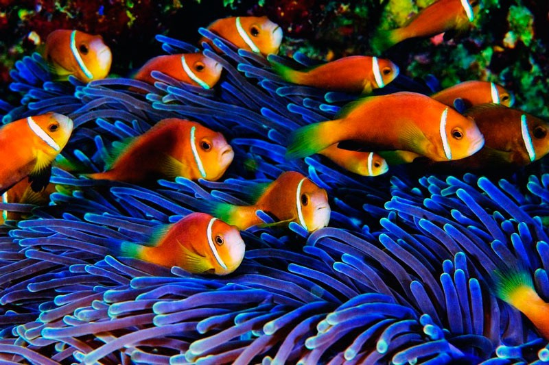 У пошуках Немо: риби-клоуни можуть зникнути з лиця Землі ➢ Погляд ...