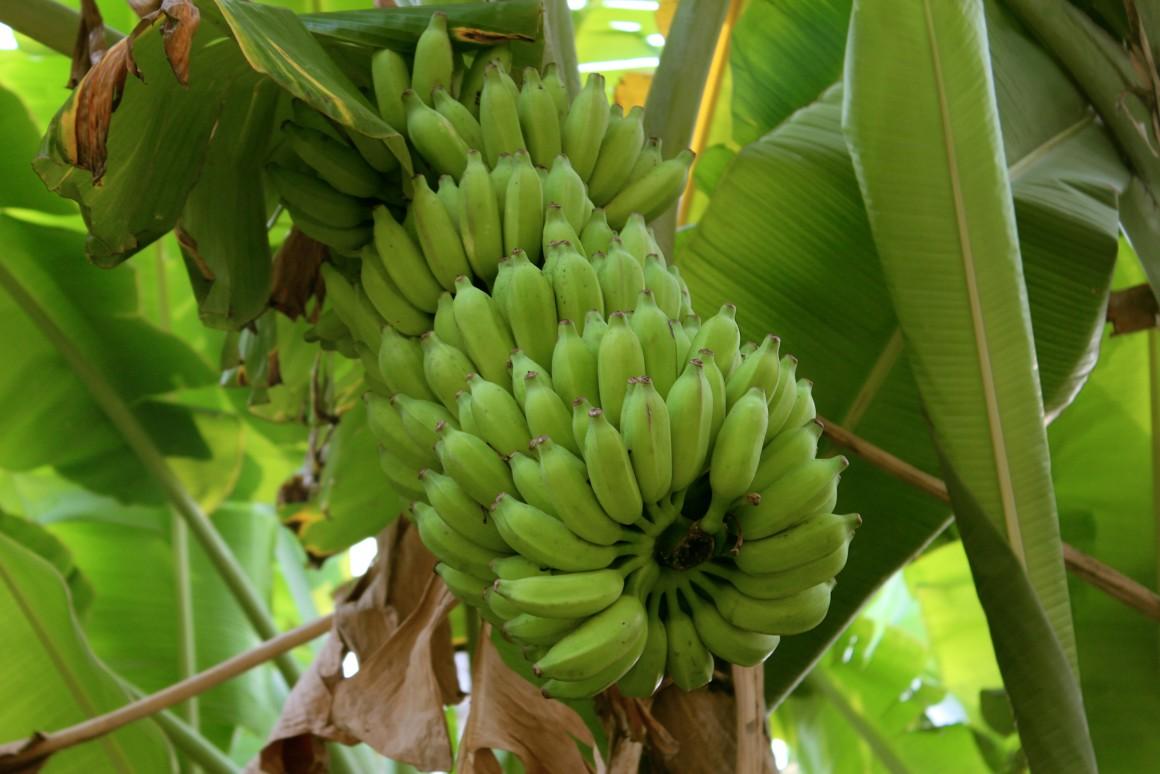 В Австралії навчилися робити пластик з бананових відходів - пластик, банани - 05 banonvaya kozhura2