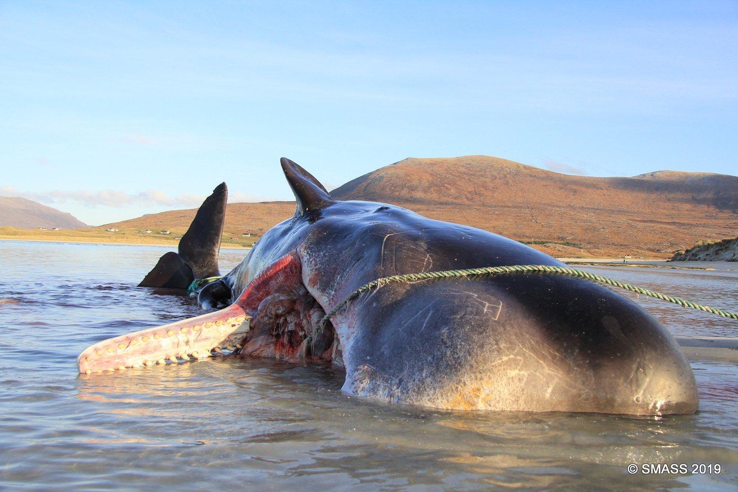 Жахливі наслідки забруднення океану: у шлунку кашалота знайшли 100 кг сміття (ФОТО 18+) - Світовий океан - 05 kashalot