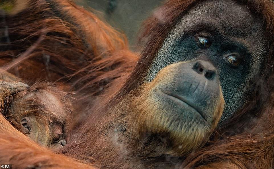 В Англії на світ з'явився орангутан, вид якого знаходиться на межі зникнення (ВІДЕО) -  - 06 orangutan