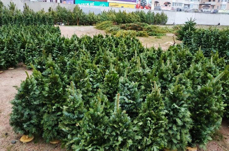 Ялинкові базари у Вишгороді: дерева з документами -  - 1221 YAlynky VYshgorod panor