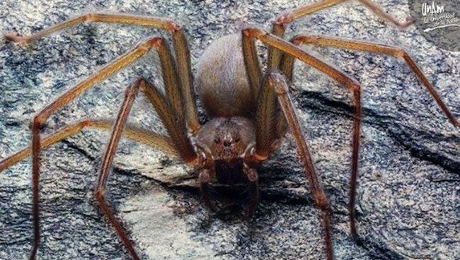 Вчені відкрили новий вид отруйного павука, який може мешкати в будинках у людей - комахи - 16 pauk