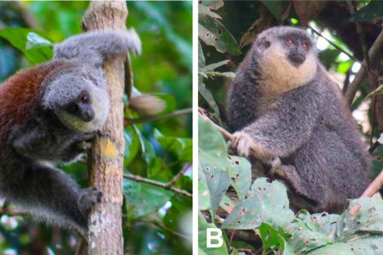 У джунглях Амазонки знайшли новий вид мавп - Тварини - 26 obezyan