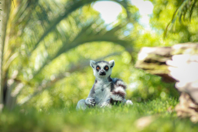 Мадагаскарські лемури можуть зникнути з лиця Землі вже в цьому столітті - захист тварин - 27 lemur