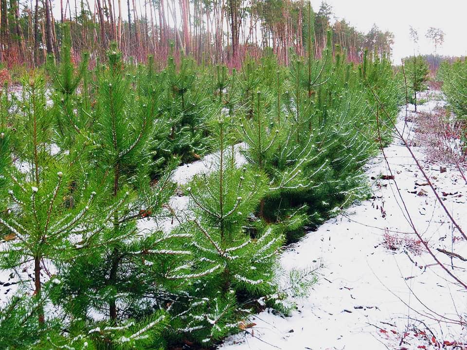 Незабаром у Фастові почнуть продавати новорічні ялинки - Фастівський лісгосп, Фастів, новорічні ялинки - 78323793 2154120481354915 9161479968981516288 n