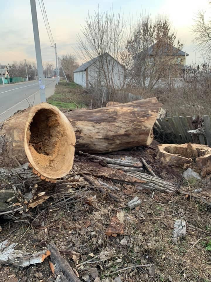 Трухлявий стовбур: у Гостомелі зрізали аварійне дерево - природа, Приірпіння, київщина, екологія, Гостомель - Gost zriz der 2