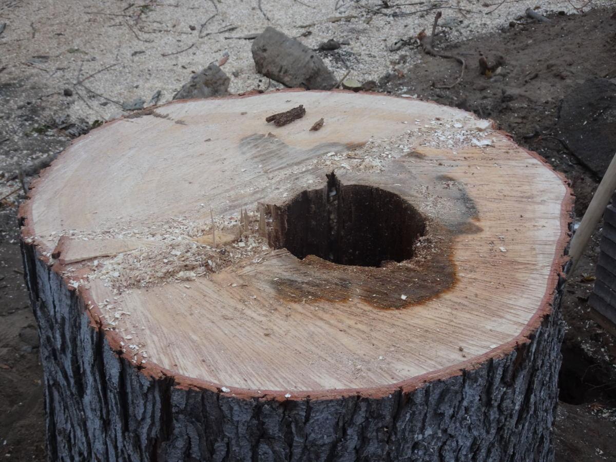 Трухлявий стовбур: у Гостомелі зрізали аварійне дерево - природа, Приірпіння, київщина, екологія, Гостомель - Irp zriz klen 1