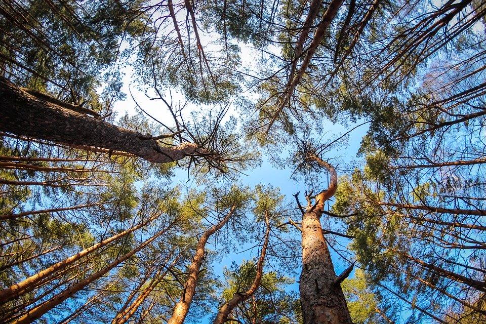 Ліс на Обухівщині, вартістю майже 11 млн грн повернуто у власність держави -  - pine 2751230 960 720