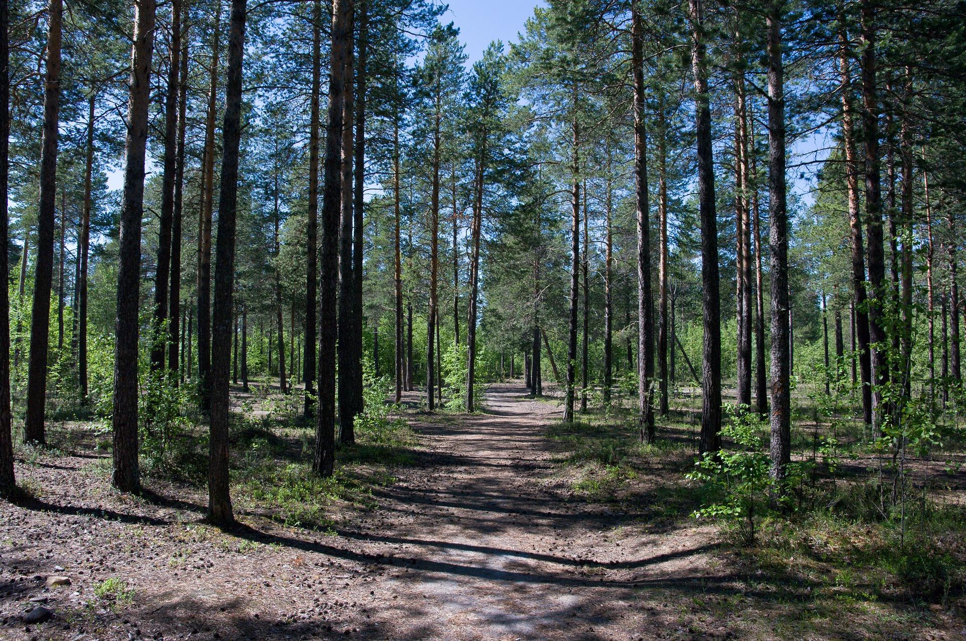 Ліс на Обухівщині, вартістю майже 11 млн грн повернуто у власність держави -  - sosnovyi bor 2934533 1920