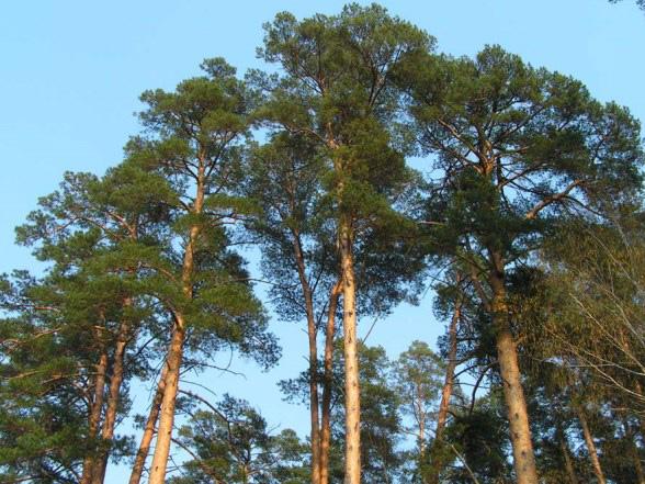 Ліс на Обухівщині, вартістю майже 11 млн грн повернуто у власність держави -  - tree1