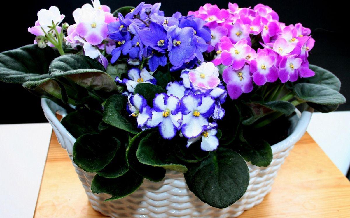 До кінця тижня в столиці триватиме виставка фіалок - квіти, виставка - 08 fyalka