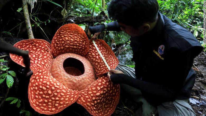 Більше метру: найбільшу в світі квітку знайшли в Індонезії - рослини - 09 kvitka