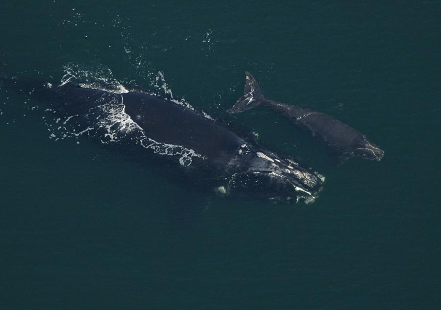 Американці за мільйон доларів порахують китів з космосу - кит - 11 kyty2