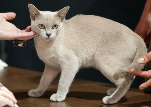 Наприкінці січня у Києві відбудеться виставка котів -  - 1309707