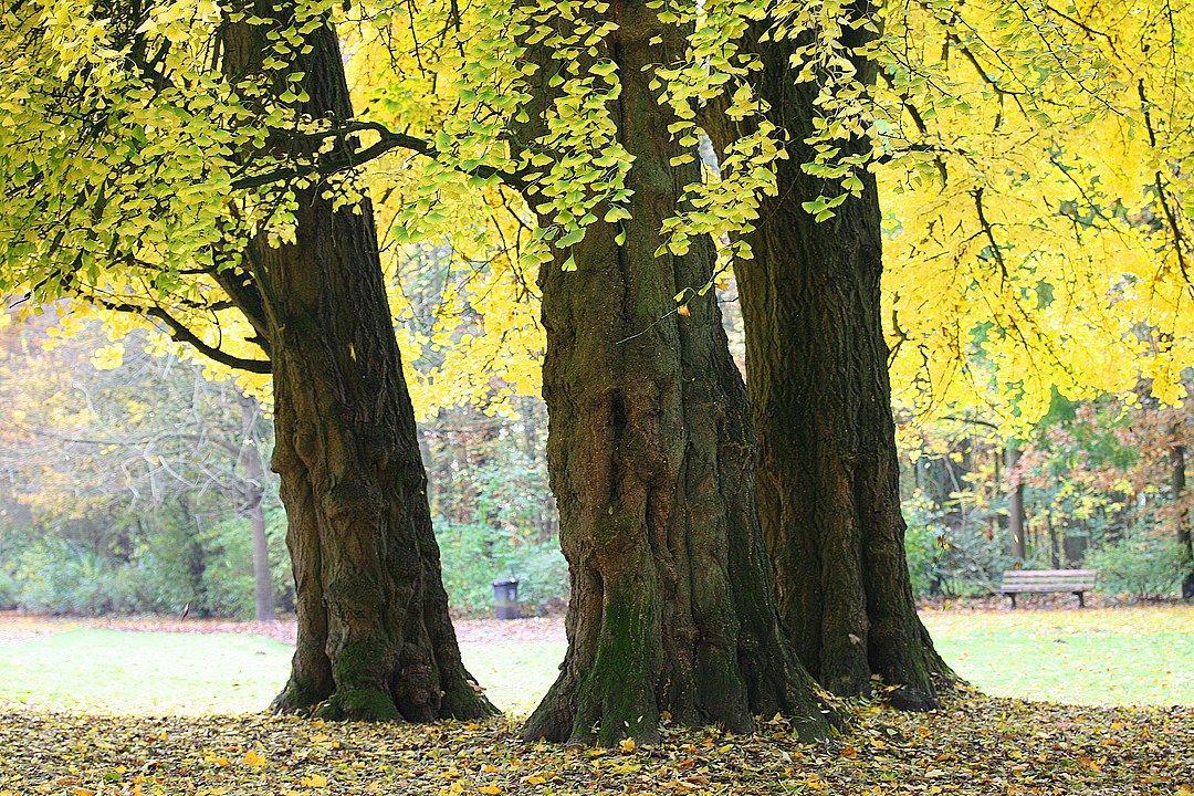 Вчені знайшли безсмертне дерево - Китай, дерево - 16 derevo