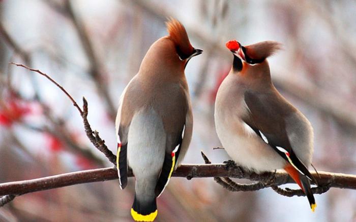 У світі триває великий зимовий облік птахів -  - 2015 01 970 sviristel 1