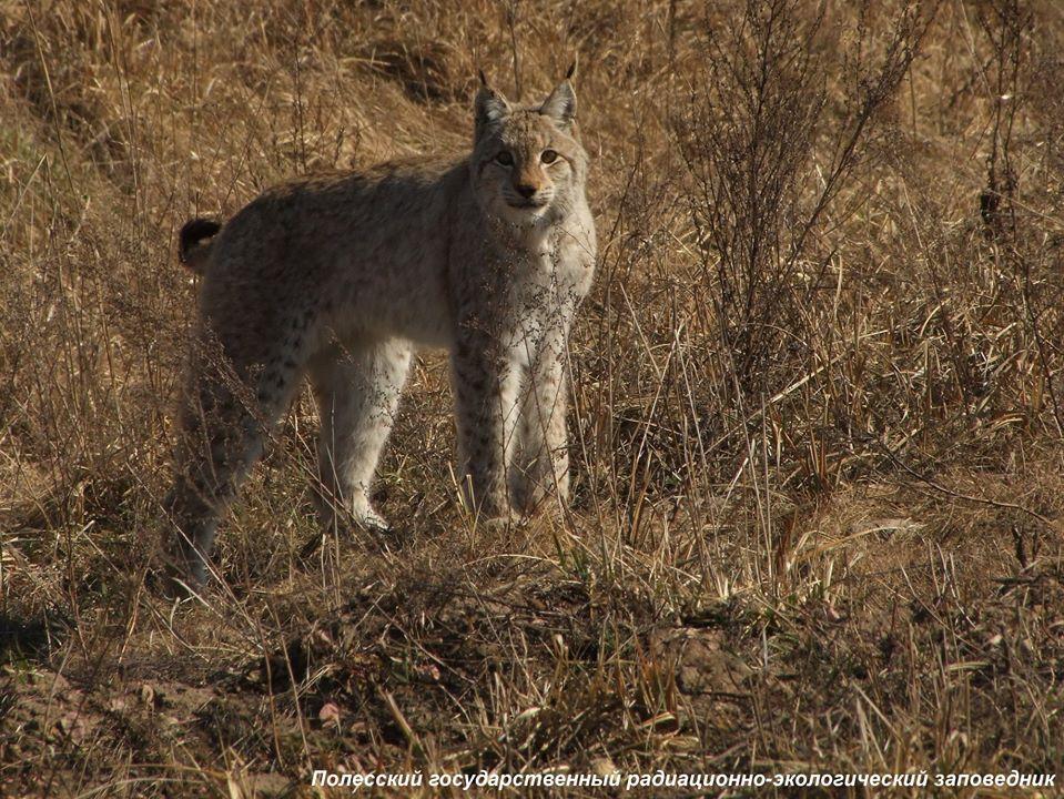 На рисей оголошено фотополювання: перший крок, аби захистити рідкісну тварину в Україні - Чорнобильський заповідник, захист тварин - 22 rys