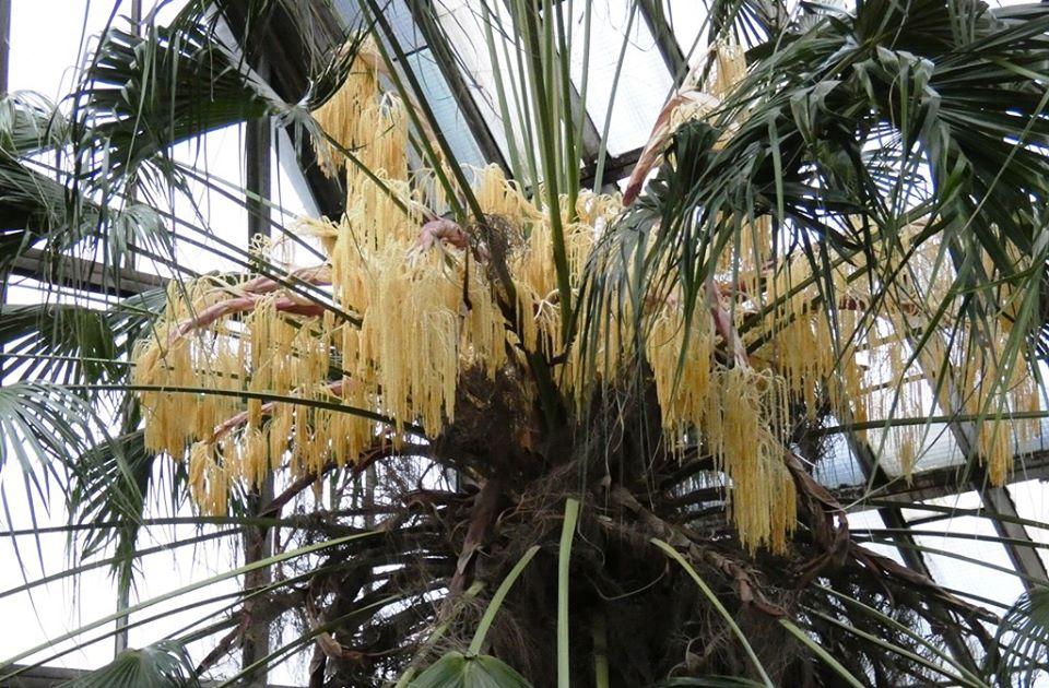 Найстаріша в Європі пальма Лівістона цвіте у Києві - Київ - palma