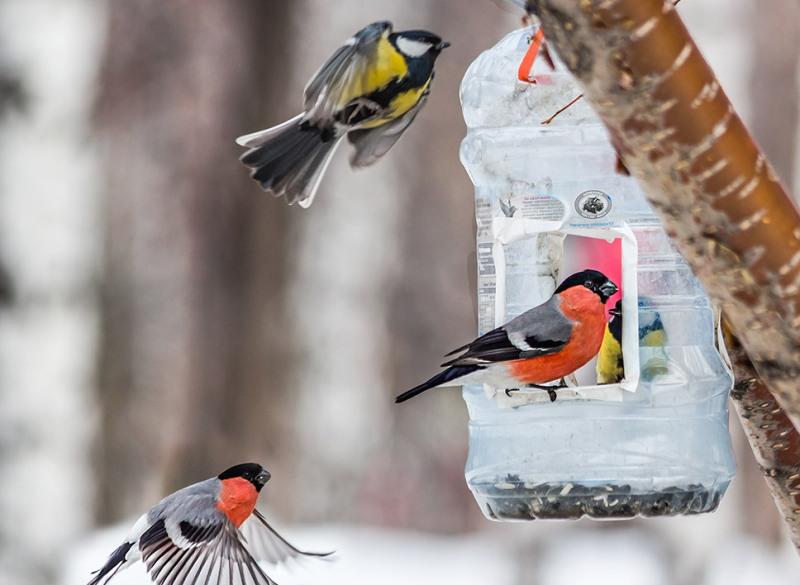 У світі триває великий зимовий облік птахів -  - ptytsy kormushka