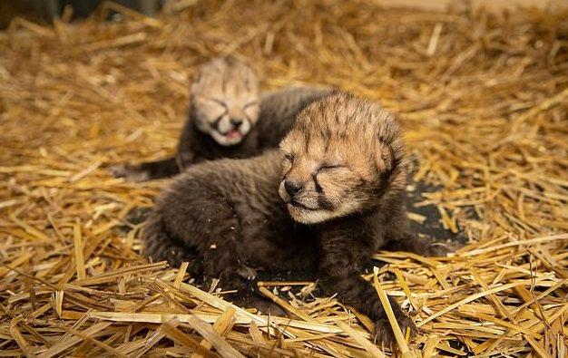 28_eko На світ з'явилися перші в світі дитинчата гепарда, народжені за допомогою ЕКЗ