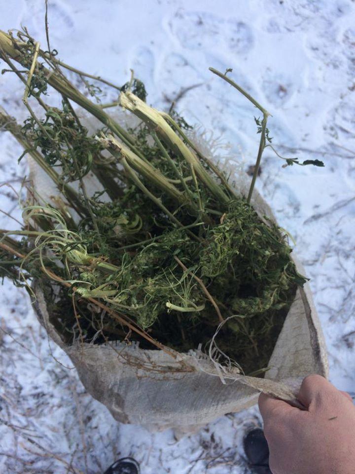 Мішок коноплі молодик на Васильківщині тримав на горищі