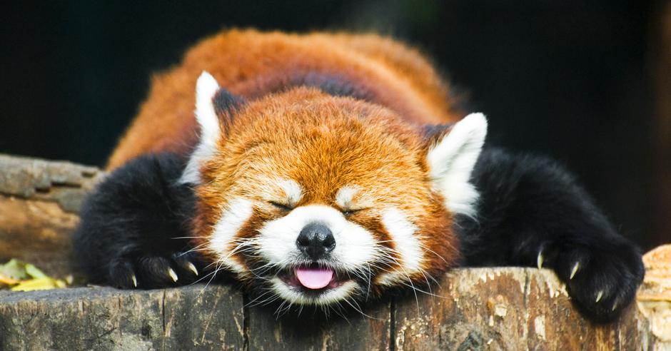 У Китаї вчені відкрили новий вид червоних панд - панда, Китай - 02 panda