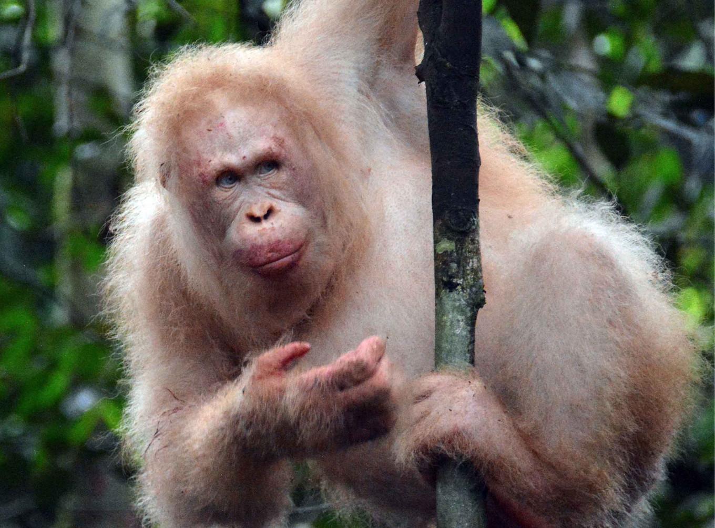 Єдиний в світі орангутан-альбінос повернувся в тропіки Борнео (ВІДЕО) - захист тварин - 05 orangutan
