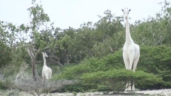 У світі лишився один: в Африці вбили двох рідкісних білих жирафів -  - 111205706 photocredithirolaconservancy
