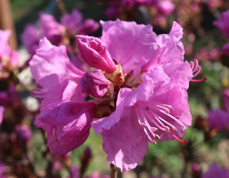 У ботанічному саду в Києві зацвіли рододендрони - квіти, ботсад - 11 tsvety