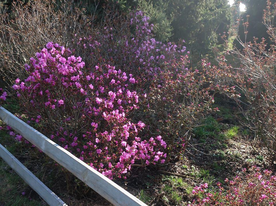 У ботанічному саду в Києві зацвіли рододендрони - квіти, ботсад - 11 tsvety3