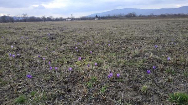 На Закарпатті в Долині нарцисів розцвіли першоцвіти - першоцвіти, Закарпаття - 13 nartsys2