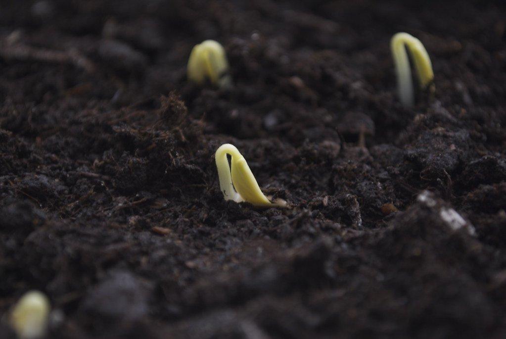 З буряком і цибулею – хоч на край світу: насіння, що пролежало у вічній мерзлоті 30 років, проросло - овочі - 13 roslyna