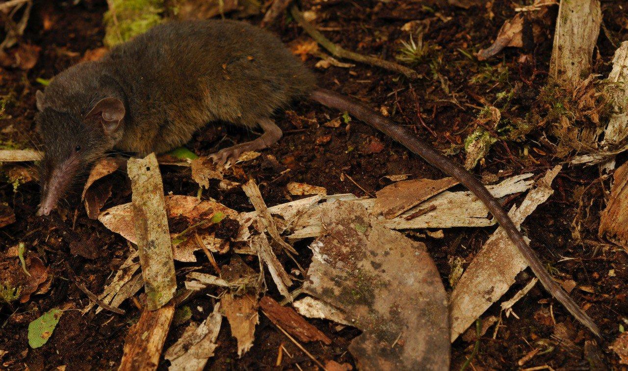 В Індонезії відкрили новий вид землерийки з надзвичайно волохатим хвостом - тварина - 16 zemleryjka