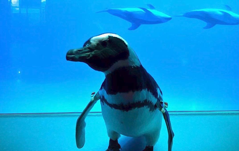 В Чикаго на час карантину пінгвінів випустили погуляти по океанаріуму (ВІДЕО) - Чикаго, Тварини, коронавірус, карантин - 19 pyngvyn