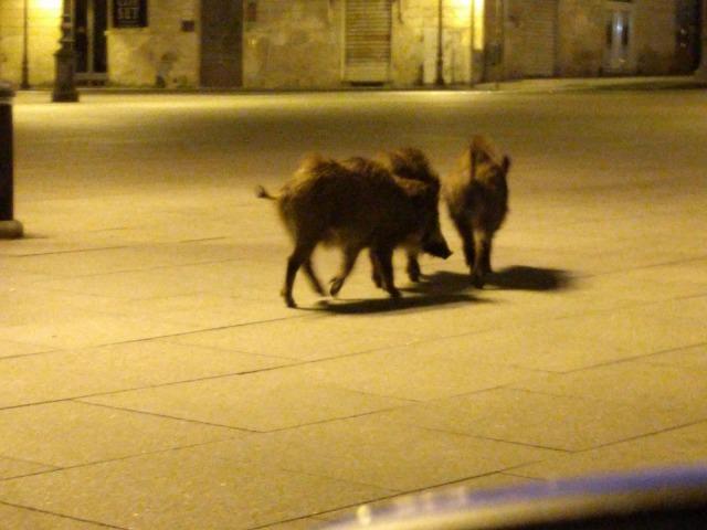 В спорожнілих через карантин містах почали з'являтися дикі тварини - Тварини, коронавірус, карантин - 20 goroda2