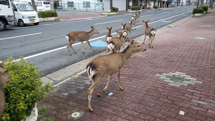 В спорожнілих через карантин містах почали з'являтися дикі тварини - Тварини, коронавірус, карантин - 20 goroda5