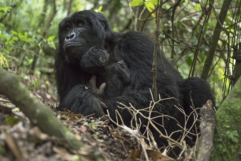 В Африці закривають національні парки, щоб врятувати гірських горил від коронавірусу - коронавірус - 25 goryla