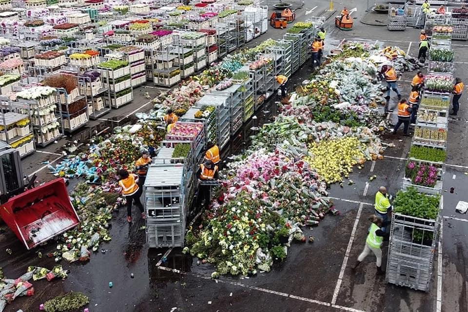 Через пандемію в світі нідерландці змушені щодня викидати на смітник мільйони квітів - тюльпани, Нідерланди, коронавірус - 25 tsvety2