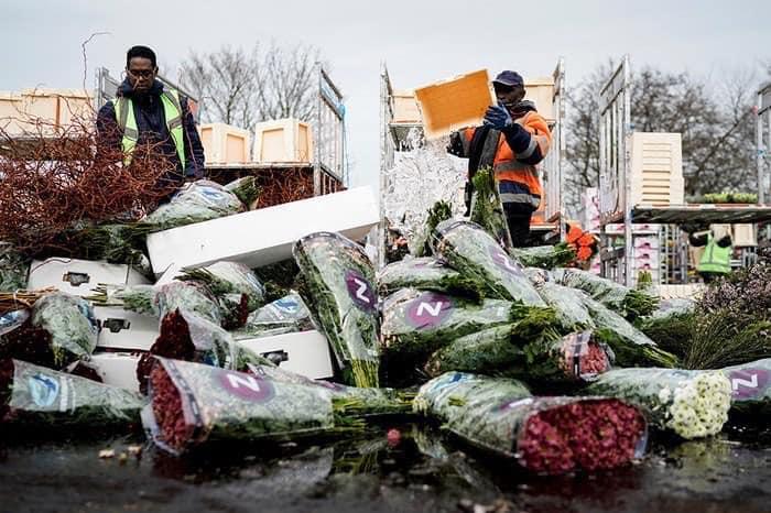 Через пандемію в світі нідерландці змушені щодня викидати на смітник мільйони квітів - тюльпани, Нідерланди, коронавірус - 25 tsvety4
