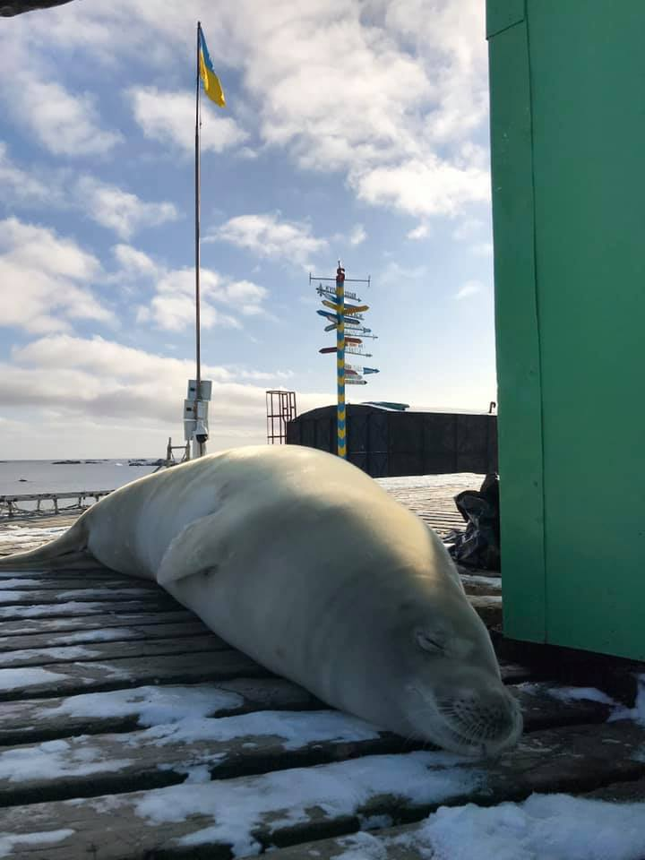 До українських полярників завітав 200-кілограмовий тюлень -  - 26 tyulen