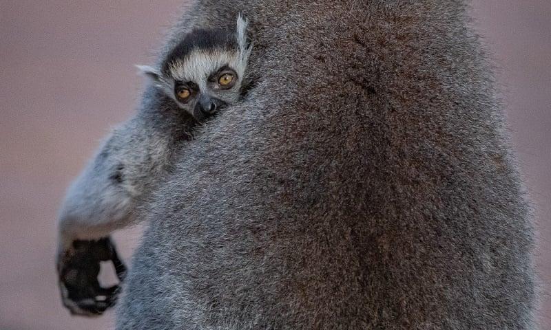 У британському зоопарку на світ з'явилися кільцехвості лемури-близнюки (ВІДЕО) - зоопарк - 27 lemur 1