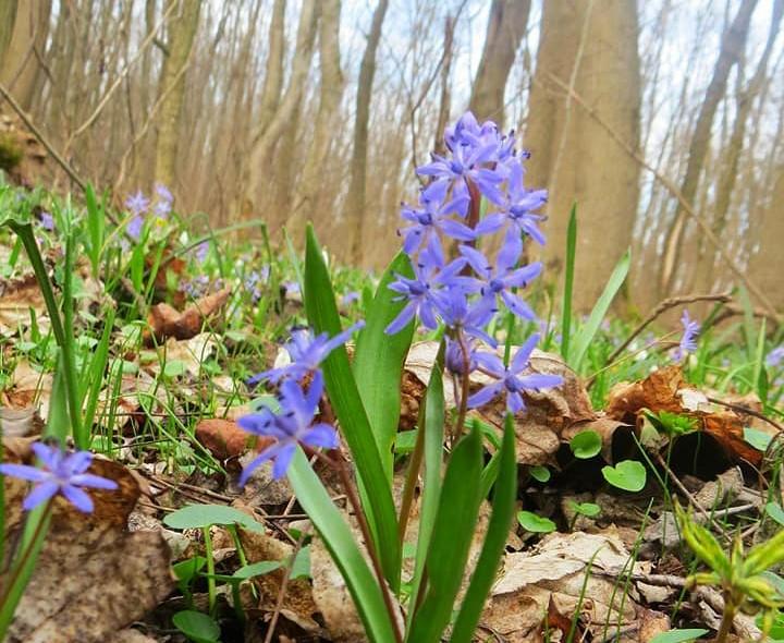 Весняне диво: на Фастівщині у ботанічному заказнику розквітла проліска дволиста - Фастівщина - 90379043 2367708003329494 6524371964792930304 n