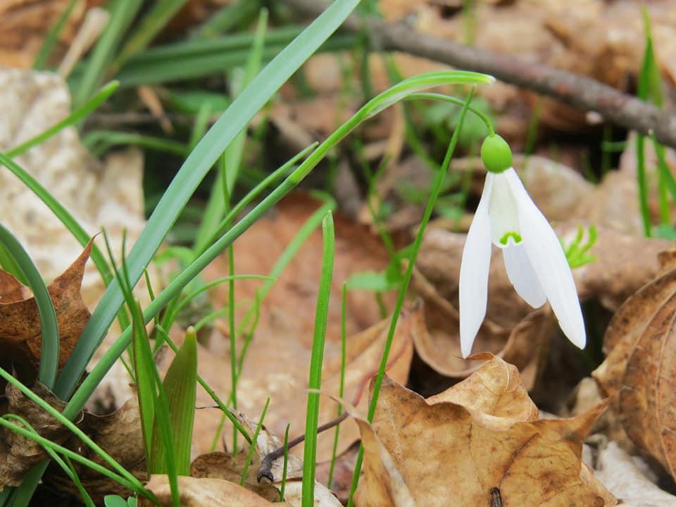 Весняне диво: на Фастівщині у ботанічному заказнику розквітла проліска дволиста - Фастівщина - 90706961 2367708079996153 8102538679592943616 n